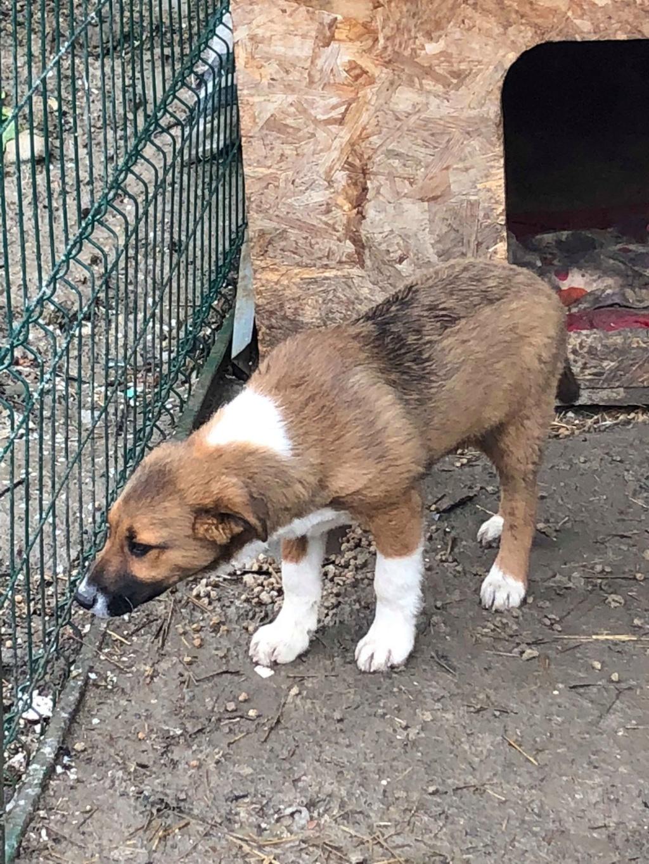 Toby- mâle-refuge de Targu Frûmos - réservé adoption 67 57348010