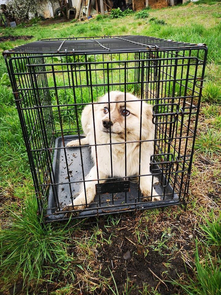 Vulpe - mâle - fourrière de Târgu Frumos 57398615
