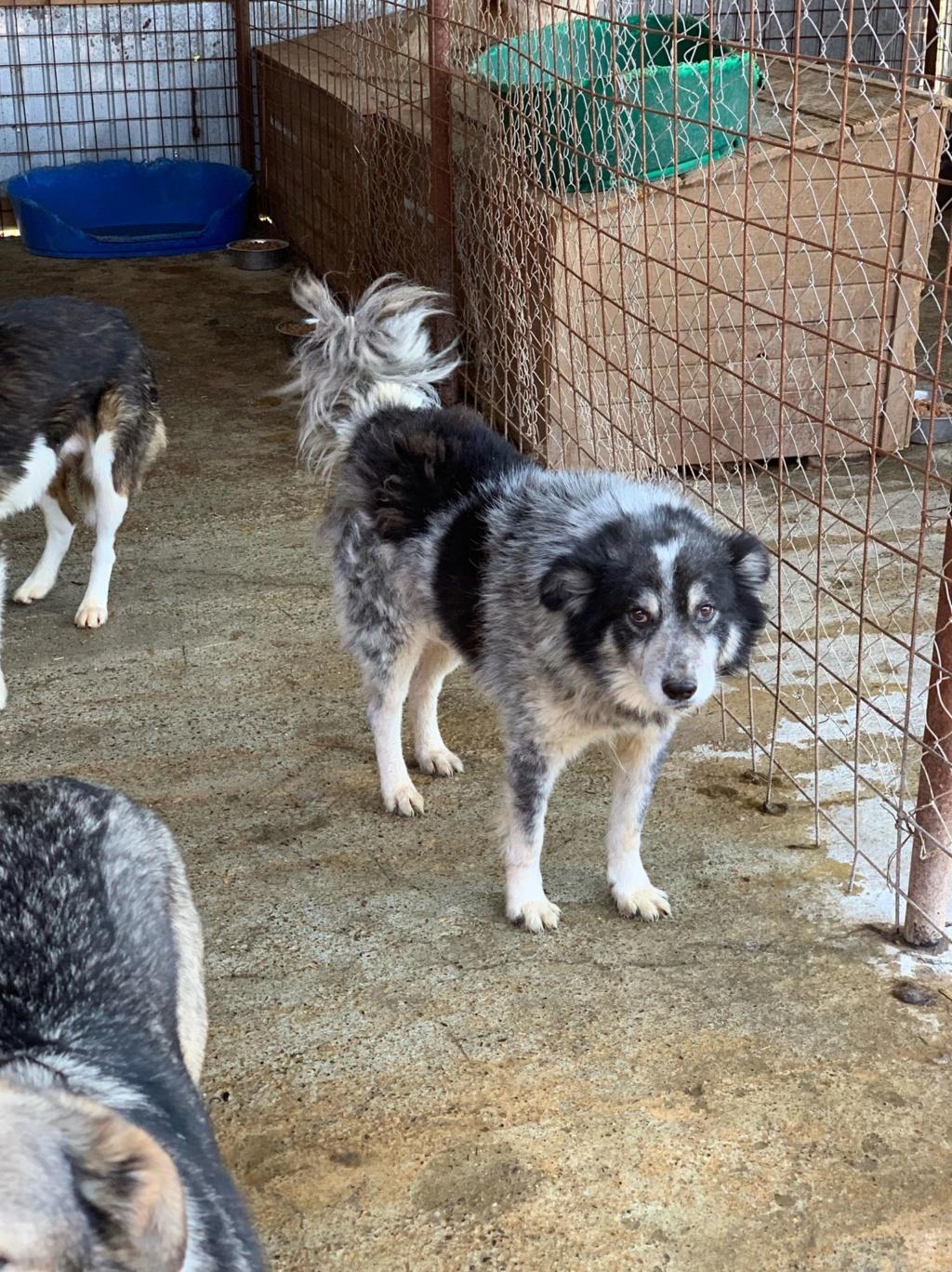 Scottie - mâle - Fourrière de Târgu Frumos - Frais d'adoption réduits - En famille d'accueil dans le 67 57511611
