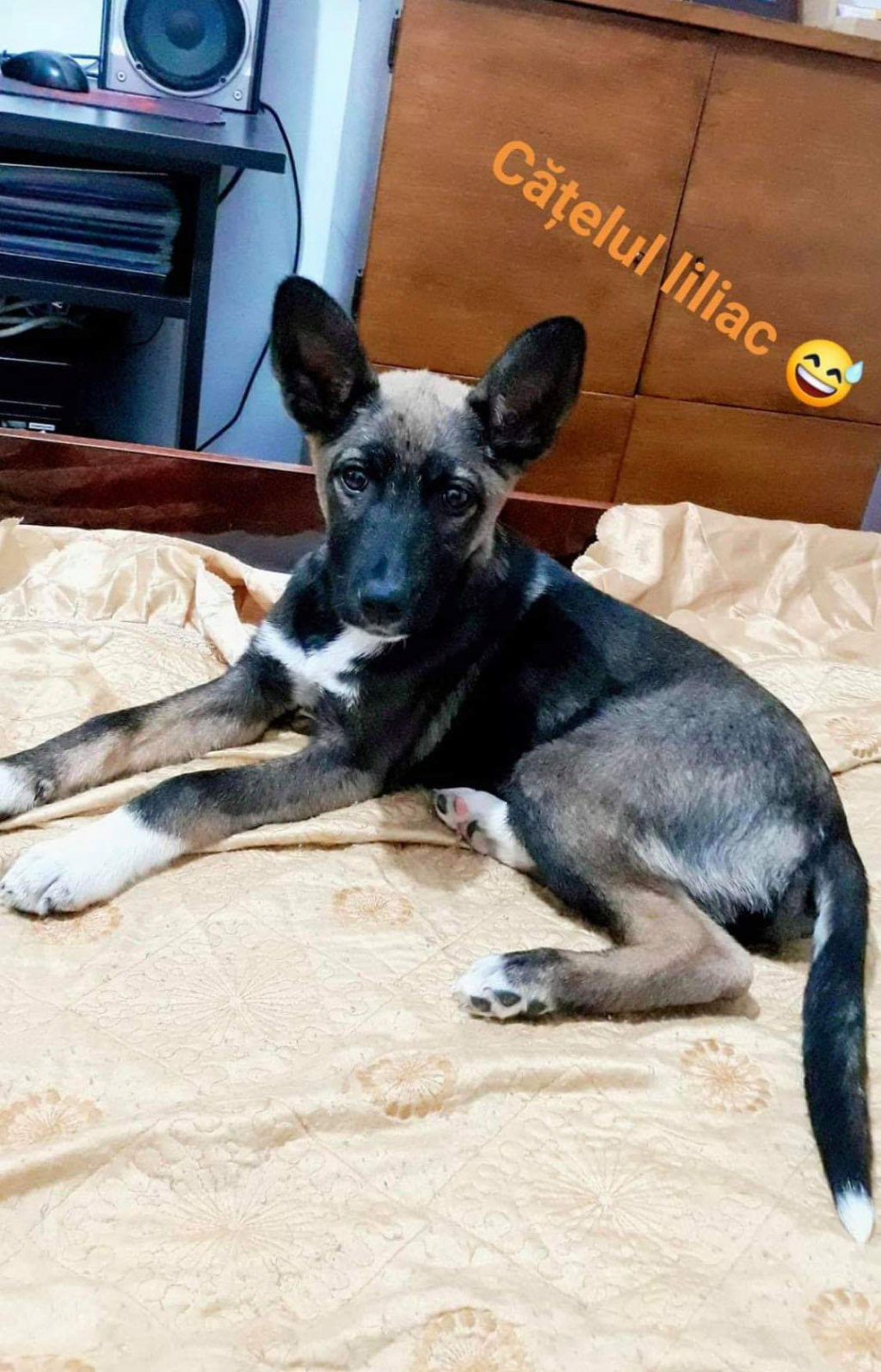 Archie- mâle- dans une famille d'accueil près de Târgu Frumos - sera en Famille d'Accueil dans le 67 en mars 582e1310