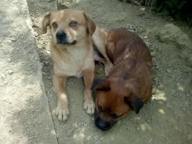 Manau-mâle- fourrière de Targû Frumos - Frais d'adoption réduits 59413811
