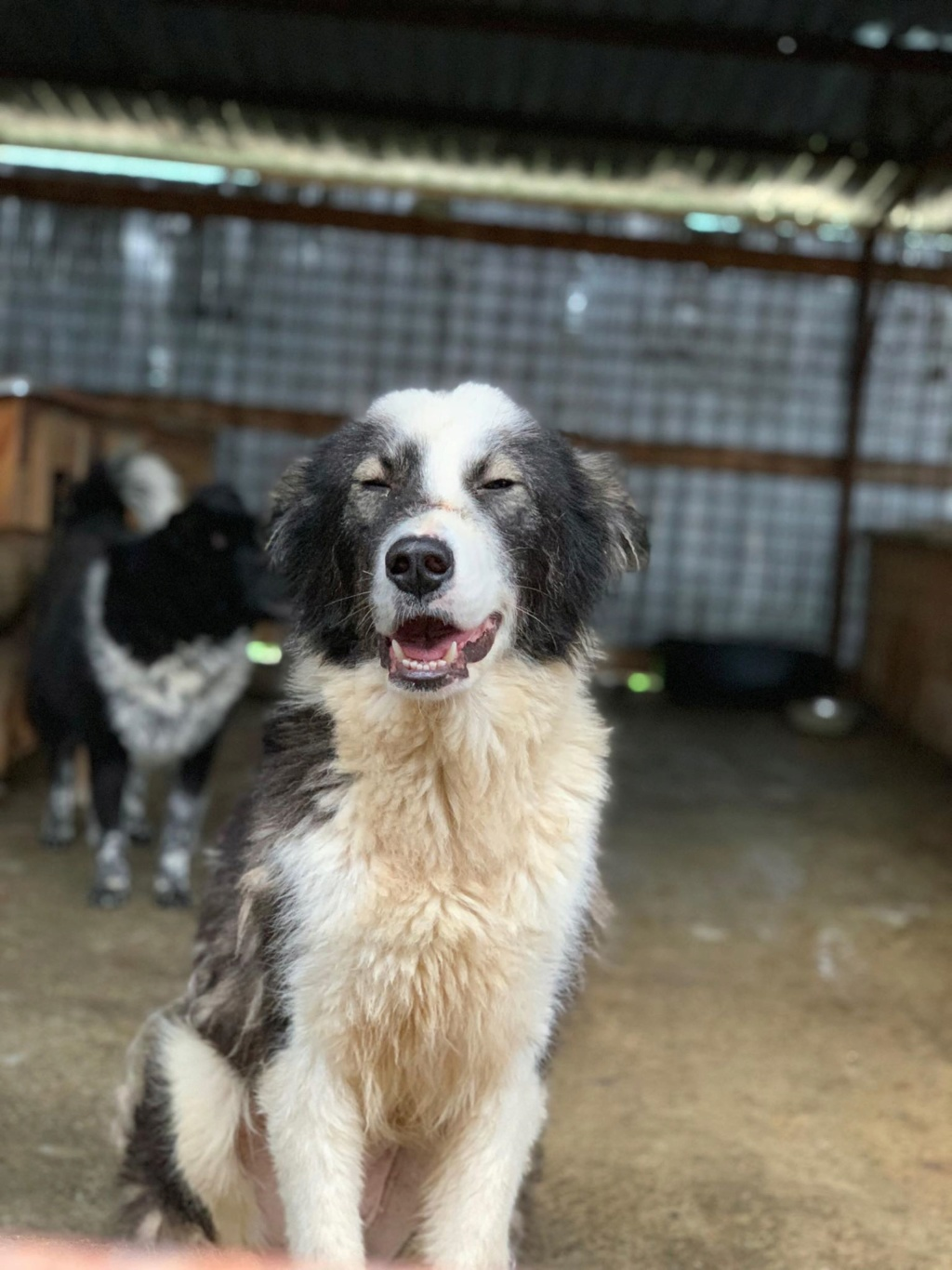 Everest - femelle - fourrière de Târgu Frumos - sera en famille d'accueil dans le 67 en mai 59519210