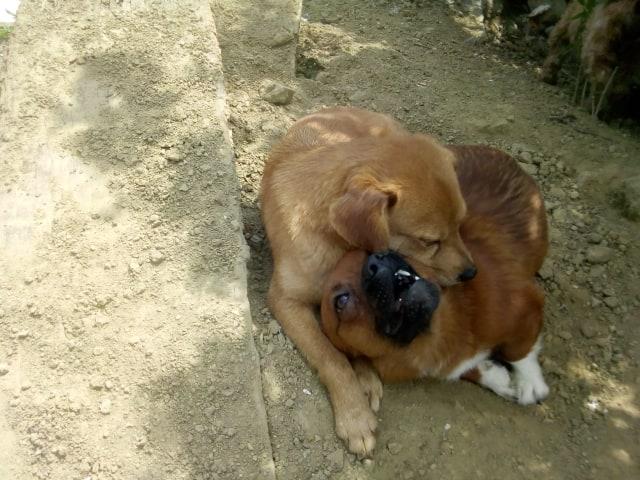 Ange- femelle- fourrière de Targû Frumos - adoptée via Andreea 59537410
