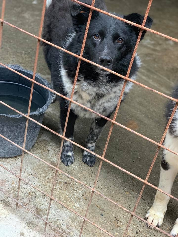 Dakota - femelle - fourrière de Târgu Frumos - Réservée adoption (88) 60066810