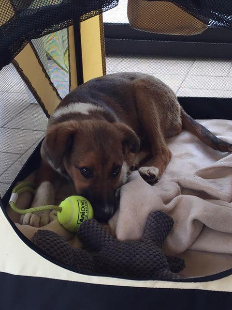 Toby- mâle-refuge de Targu Frûmos - réservé adoption 67 60278910