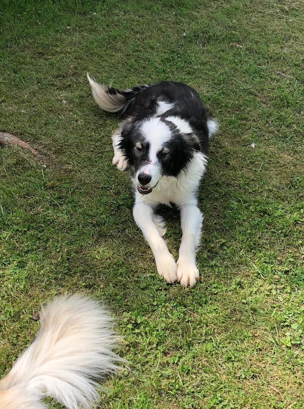 Everest - chienne femelle - fourrière de Târgu Frumos - en famille d'accueil dans le 67 60393910