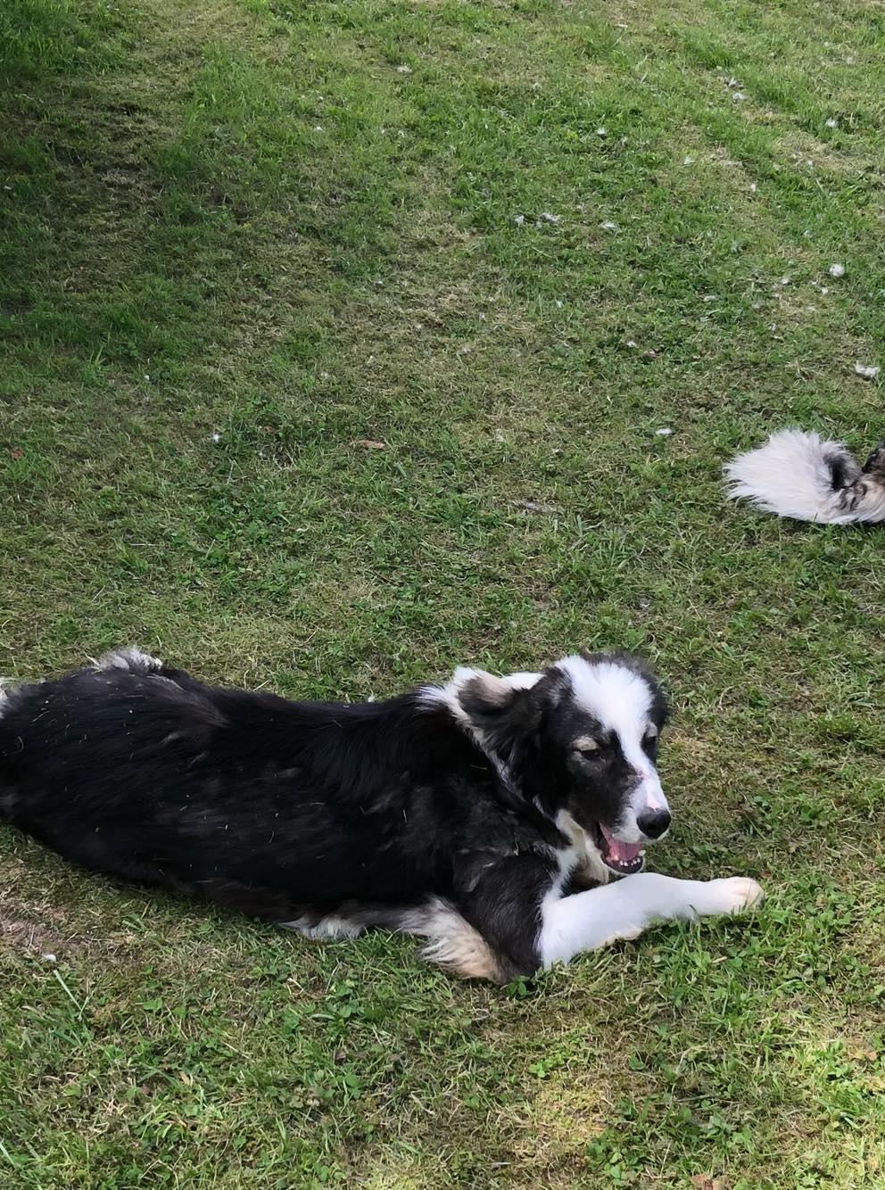 Everest - chienne femelle - fourrière de Târgu Frumos - en famille d'accueil dans le 67 60478110