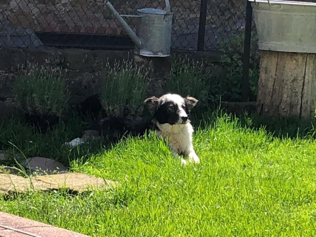 Everest - chienne femelle - fourrière de Târgu Frumos - en famille d'accueil dans le 67 60514910