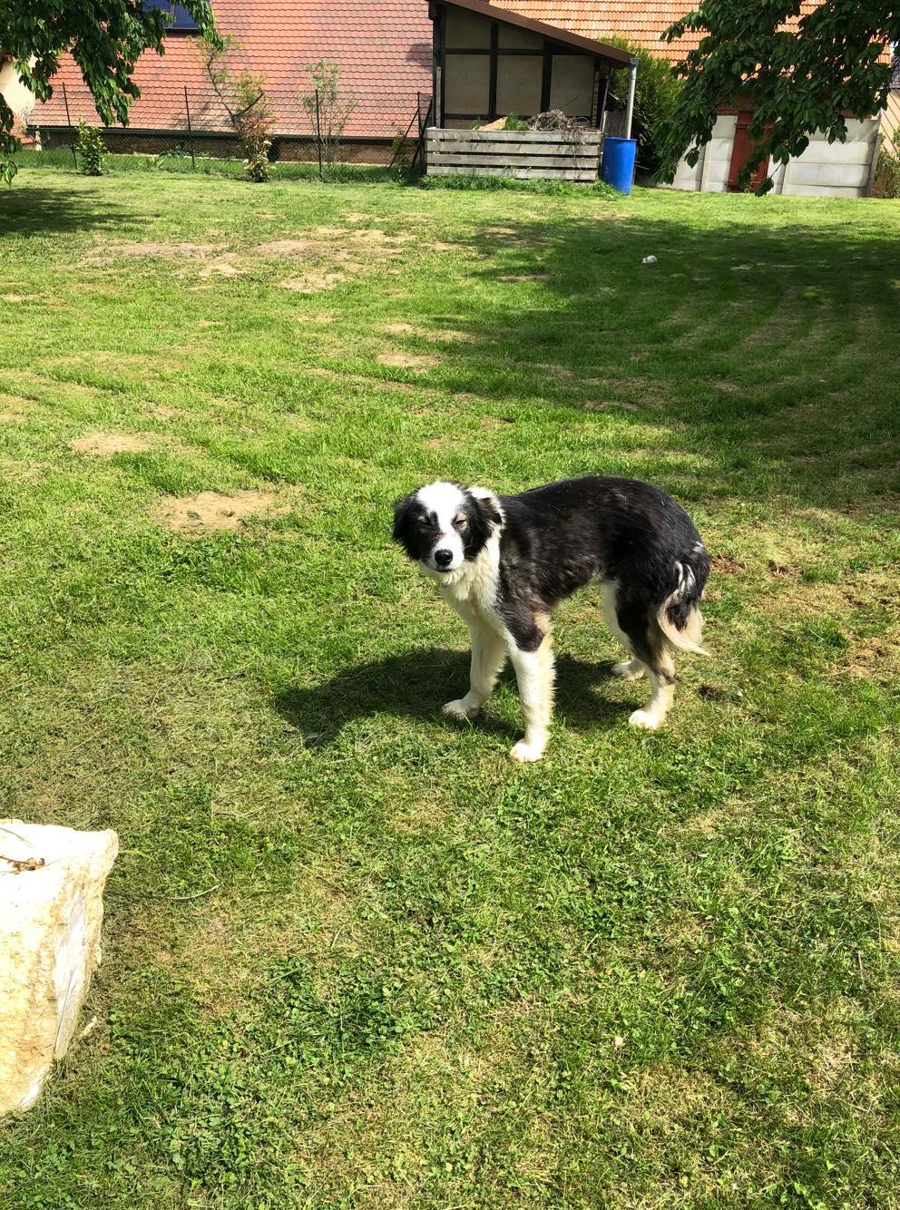 Everest - chienne femelle - fourrière de Târgu Frumos - en famille d'accueil dans le 67 60710110