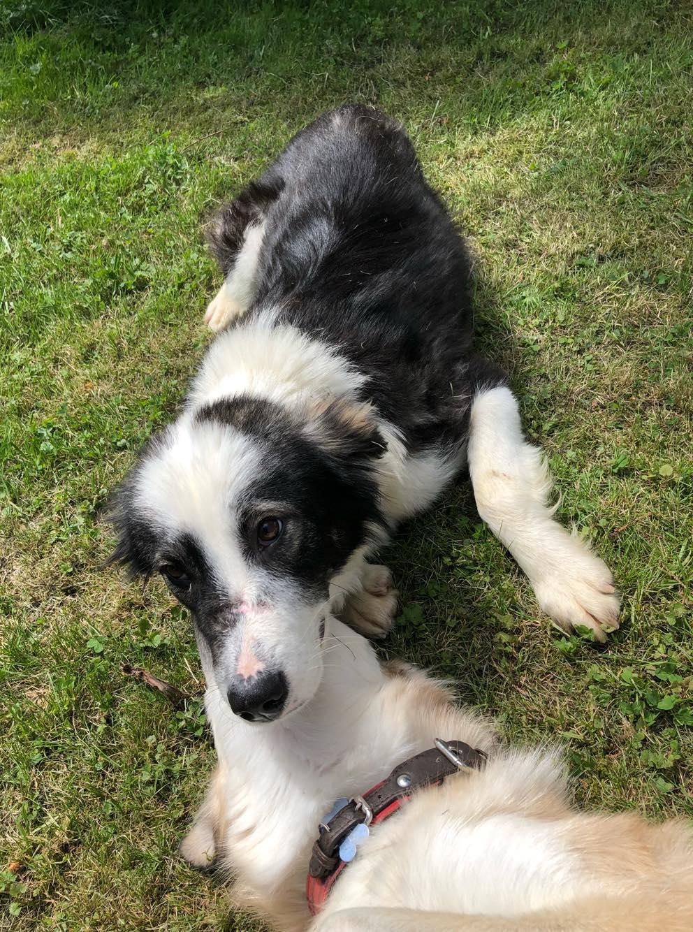 Everest - chienne femelle - fourrière de Târgu Frumos - en famille d'accueil dans le 67 60978210