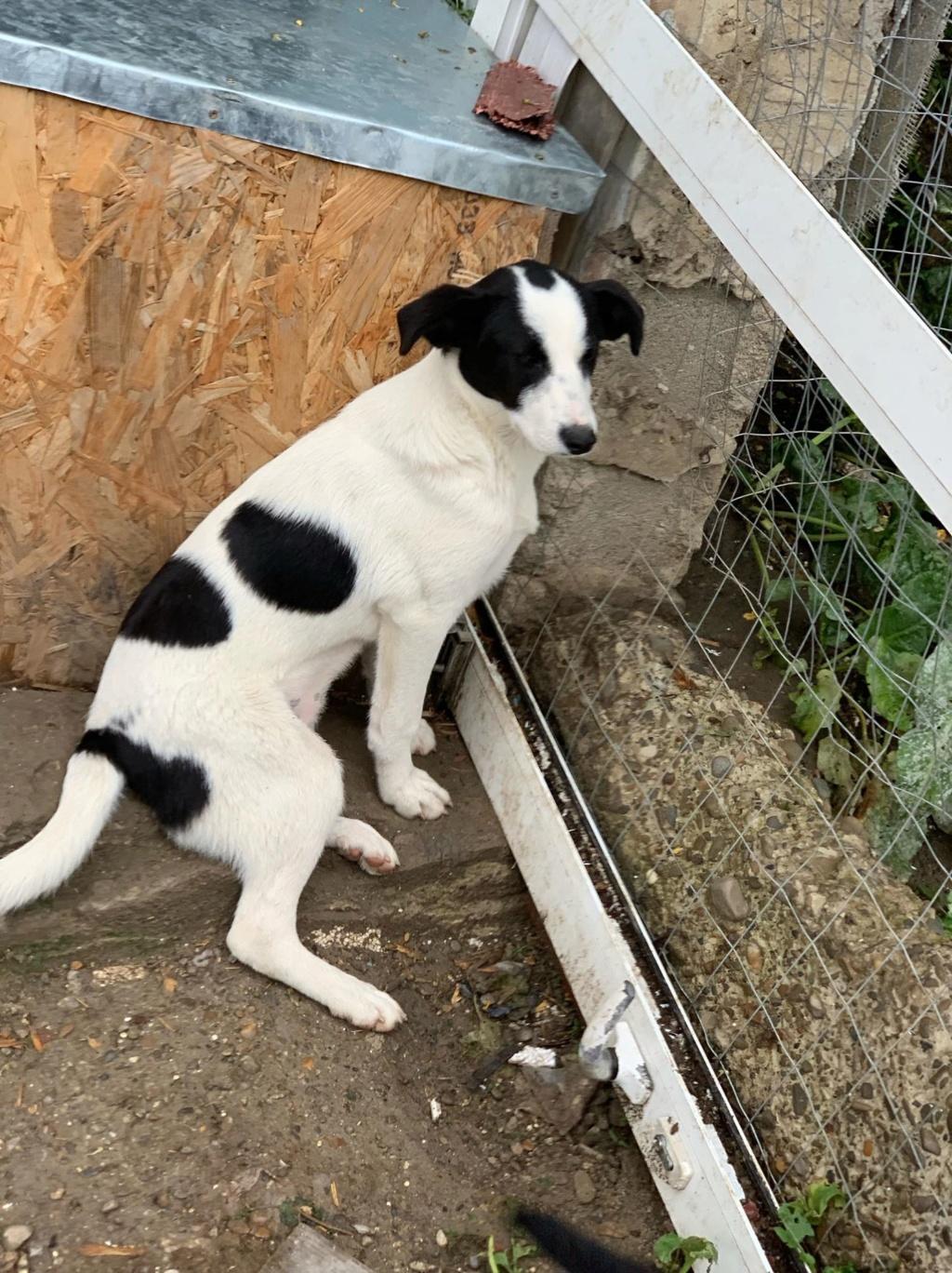 Opaline- femelle- refuge de Targu Frûmos - réservée adoption (57) 61710210