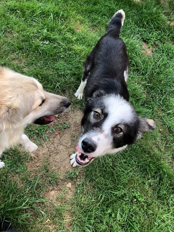 Everest - chienne femelle - fourrière de Târgu Frumos - en famille d'accueil dans le 67 61900610