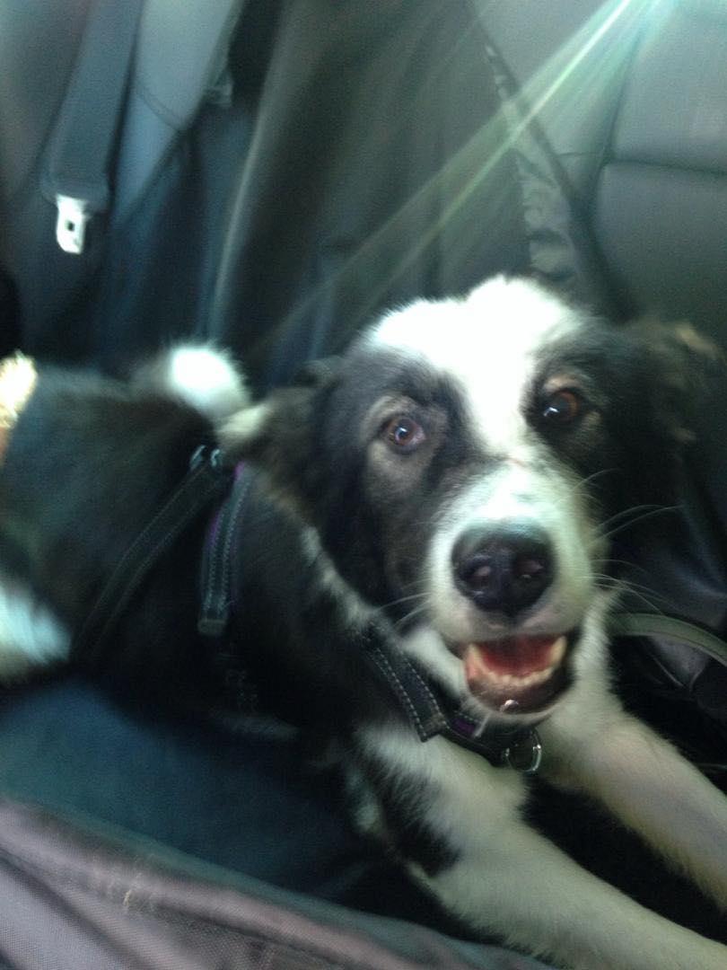 Everest - chienne femelle - fourrière de Târgu Frumos - en famille d'accueil dans le 67 61938010