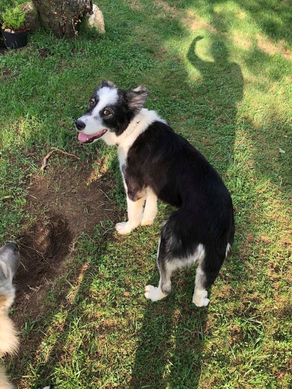 Everest - chienne femelle - fourrière de Târgu Frumos - en famille d'accueil dans le 67 61947210