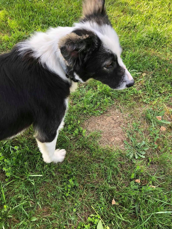 Everest - chienne femelle - fourrière de Târgu Frumos - en famille d'accueil dans le 67 62075310