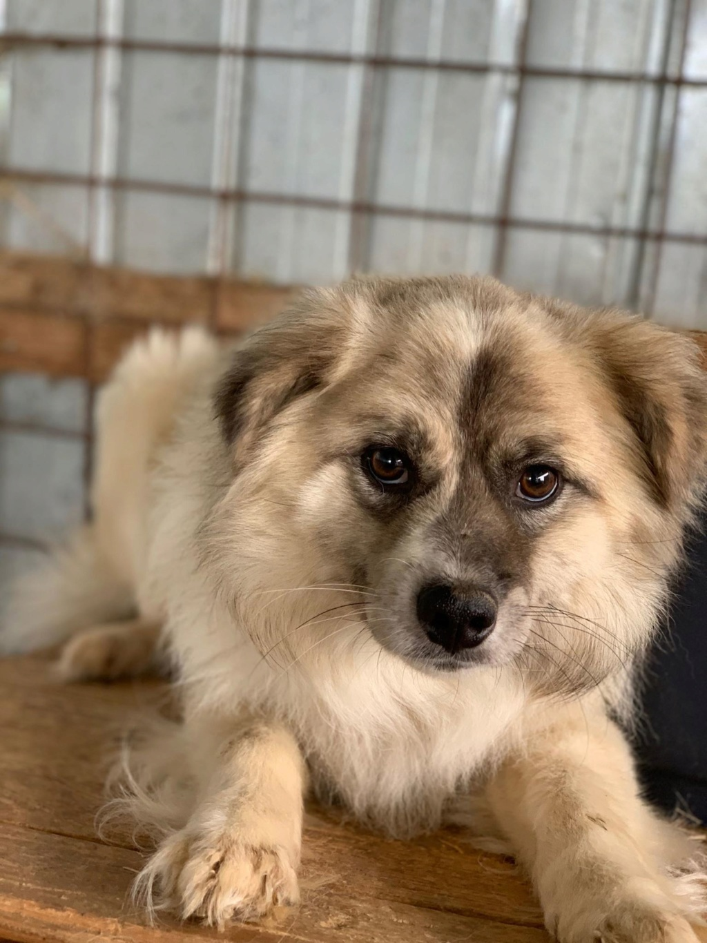 Vulpe - mâle - fourrière de Târgu Frumos - adopté via Andreea 62086310