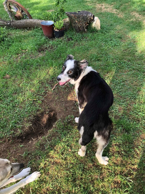 Everest - chienne femelle - fourrière de Târgu Frumos - en famille d'accueil dans le 67 62137310