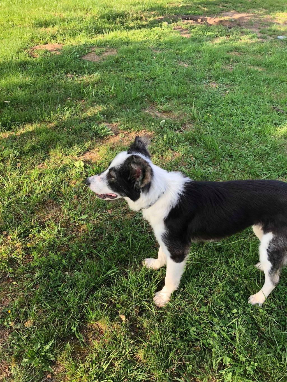 Everest - chienne femelle - fourrière de Târgu Frumos - en famille d'accueil dans le 67 62151710