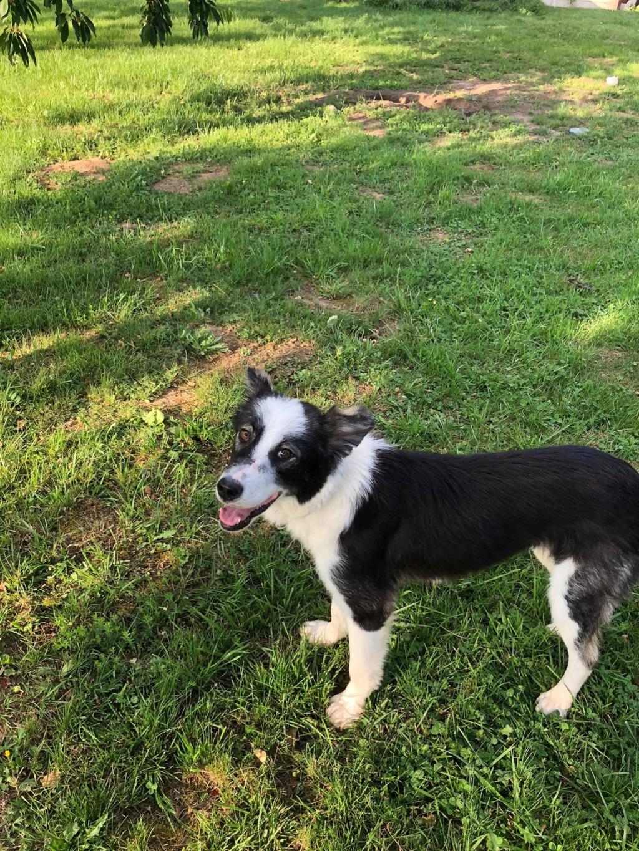 Everest - chienne femelle - fourrière de Târgu Frumos - en famille d'accueil dans le 67 62217510