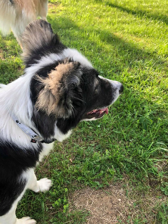Everest - chienne femelle - fourrière de Târgu Frumos - en famille d'accueil dans le 67 62373910