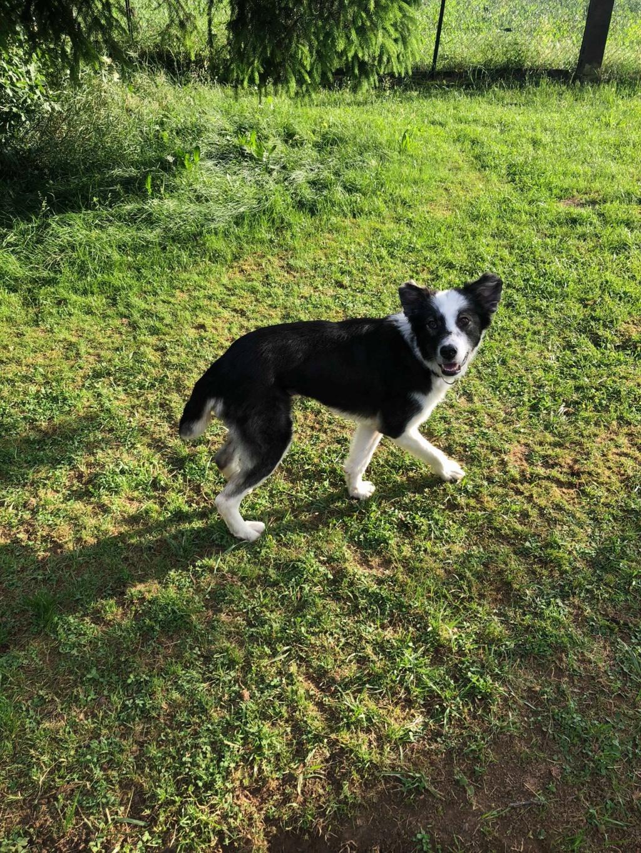 Everest - chienne femelle - fourrière de Târgu Frumos - en famille d'accueil dans le 67 62443610