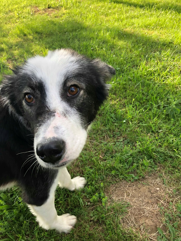 Everest - chienne femelle - fourrière de Târgu Frumos - en famille d'accueil dans le 67 62444010