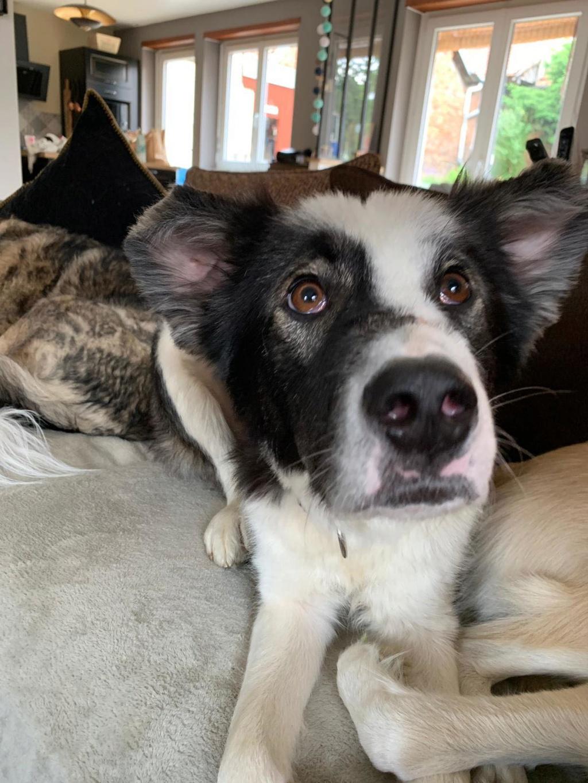 Everest - chienne femelle - fourrière de Târgu Frumos - en famille d'accueil dans le 67 62611810