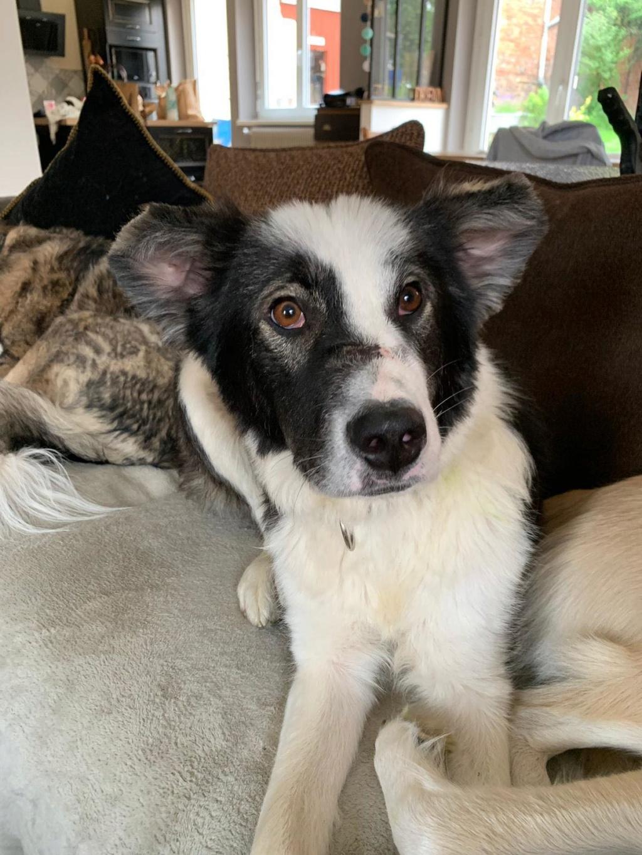 Everest - chienne femelle - fourrière de Târgu Frumos - en famille d'accueil dans le 67 64582210