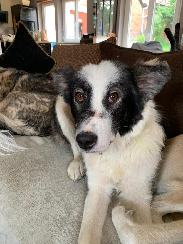 Everest - chienne femelle - fourrière de Târgu Frumos - en famille d'accueil dans le 67 64649610