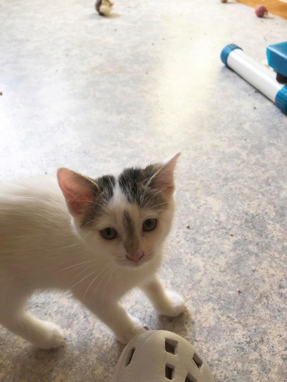 Phyllali (ex-Tick) - Chaton femelle - réservée adoption 67 65136210