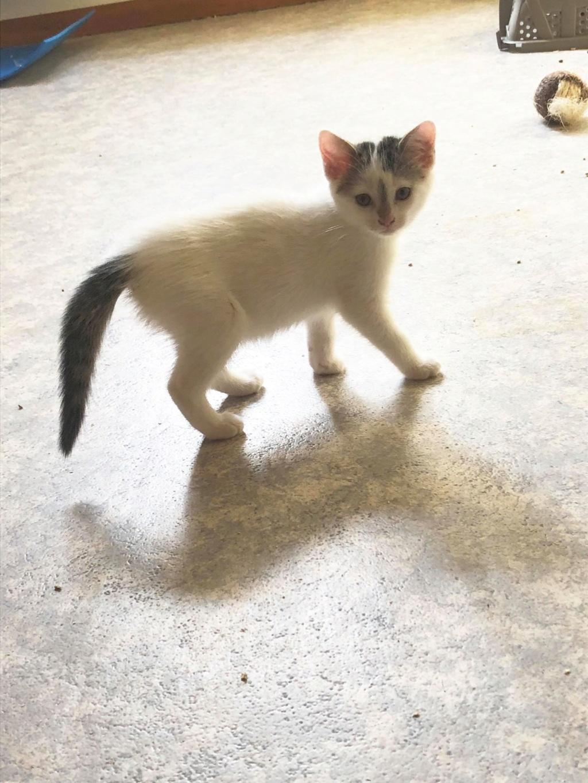 Phyllali (ex-Tick) - Chaton femelle - réservée adoption 67 65696910