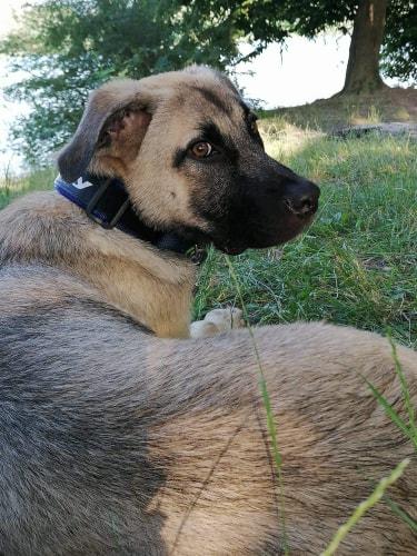 Grey-mâle- refuge d'Arad réservé adoption 67 65959710