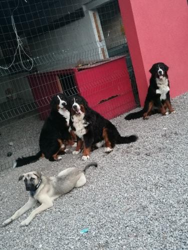Grey-mâle- refuge d'Arad réservé adoption 67 66108410
