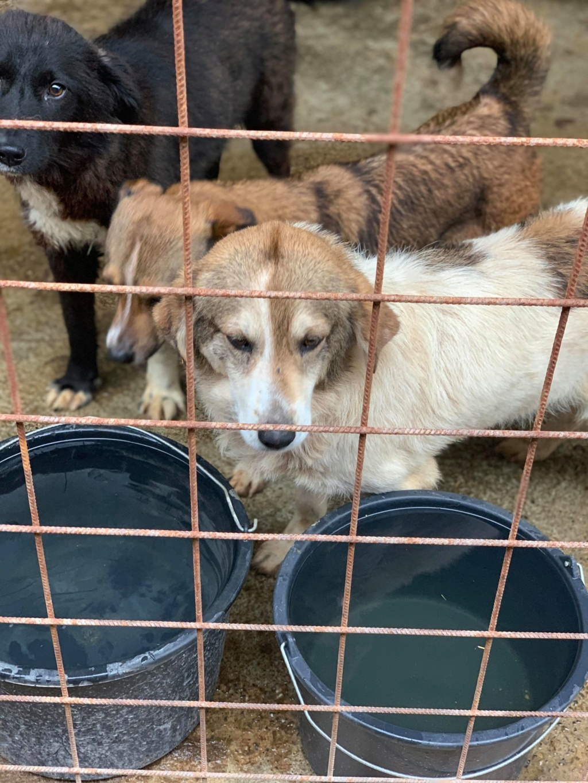 Gibbs - mâle - fourrière de Târgu Frumos - réservé adoption (67) 67542310