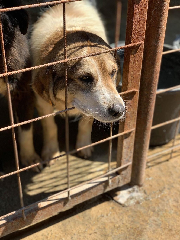Gibbs - mâle - fourrière de Târgu Frumos - réservé adoption (67) 67545610