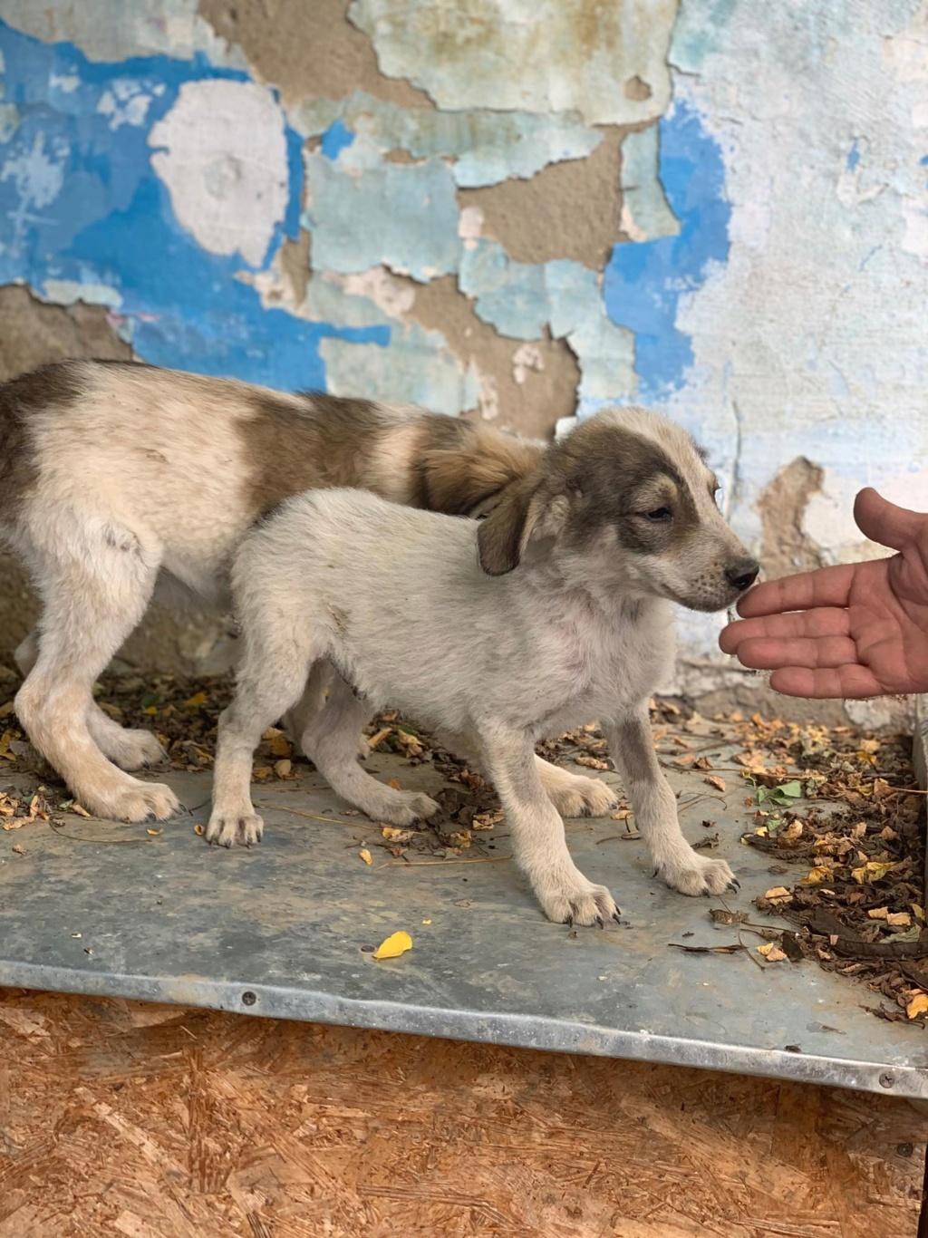 Brocoli-mâle- fourrière de Târgu Frumos - en famille d'accueil dans le 67 67568310