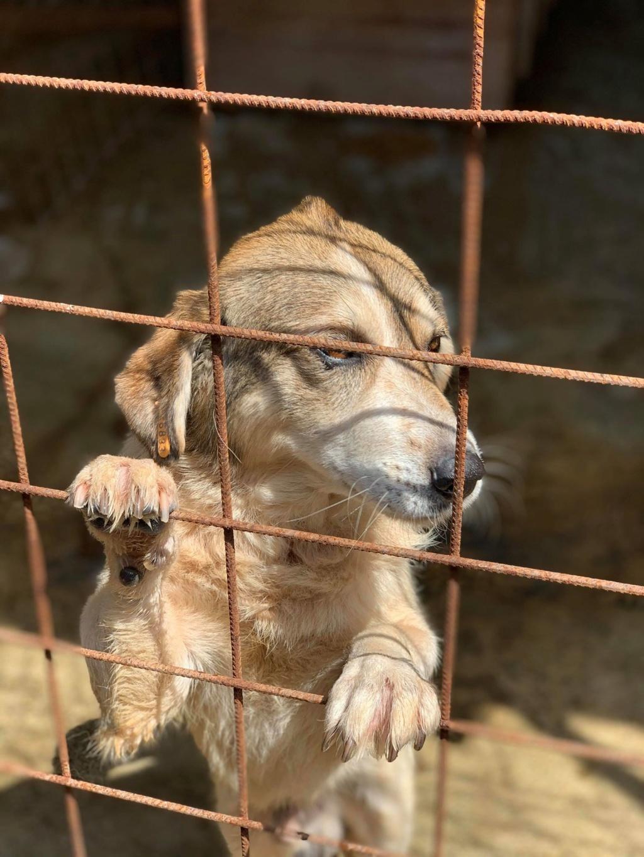 Gibbs - mâle - fourrière de Târgu Frumos - réservé adoption (67) 67750610