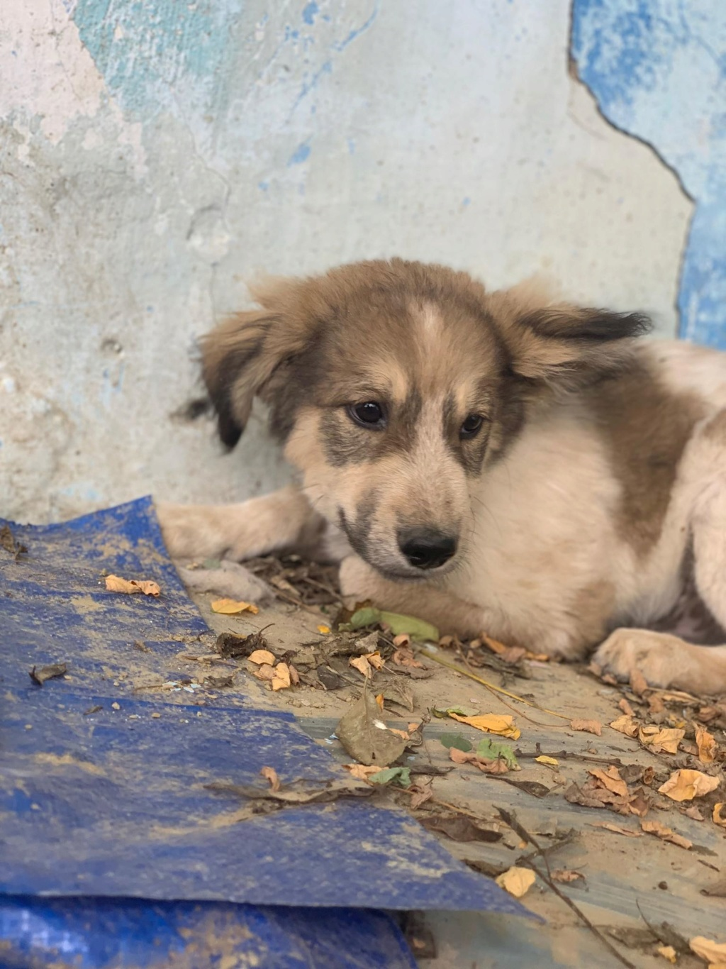 Hélios-mâle- fourrière de Târgu Frumos - adopté via Andreea 67892810