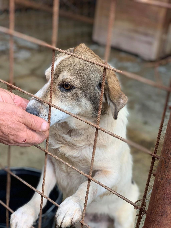 Gibbs - mâle - fourrière de Târgu Frumos - réservé adoption (67) 67962210