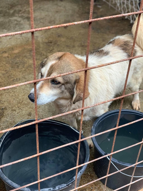 Gibbs - mâle - fourrière de Târgu Frumos - réservé adoption (67) 68245110
