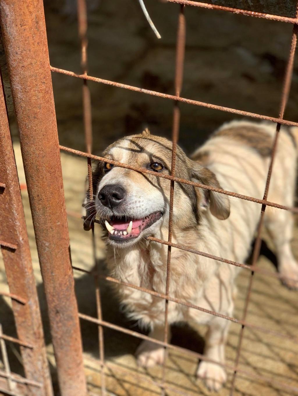 Gibbs - mâle - fourrière de Târgu Frumos - réservé adoption (67) 68253010
