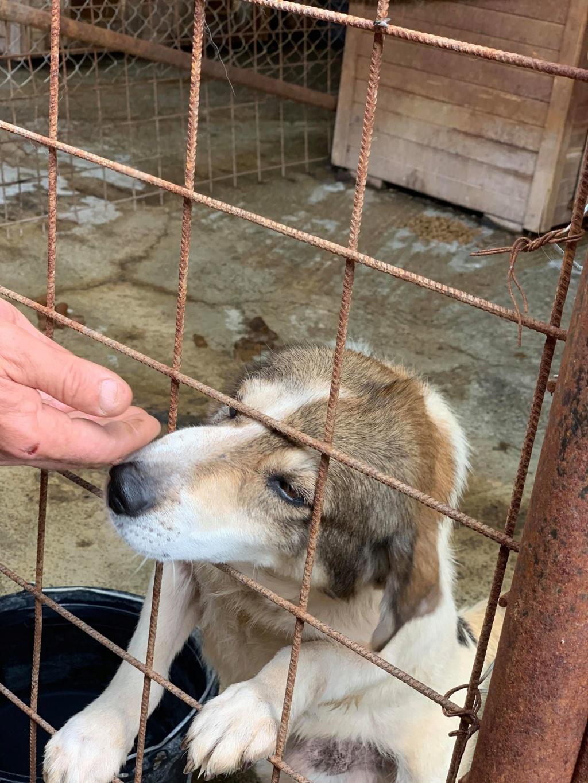 Gibbs - mâle - fourrière de Târgu Frumos - réservé adoption (67) 68469710