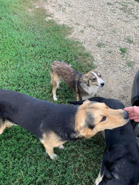 Brisco- mâle- fourrière de Târgu Frumos - demande en cours 69201610