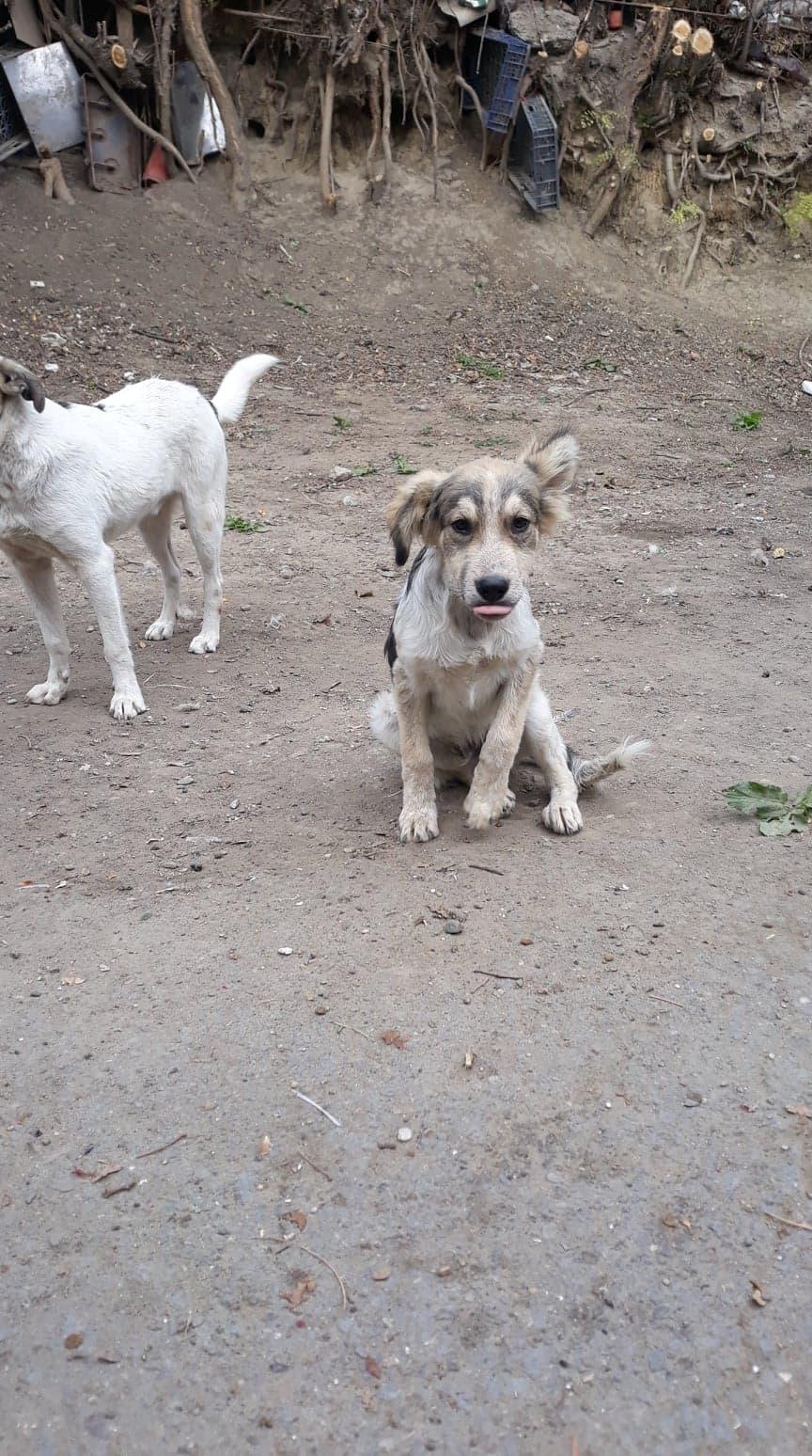 Hélios-mâle- fourrière de Târgu Frumos - adopté via Andreea 70337910
