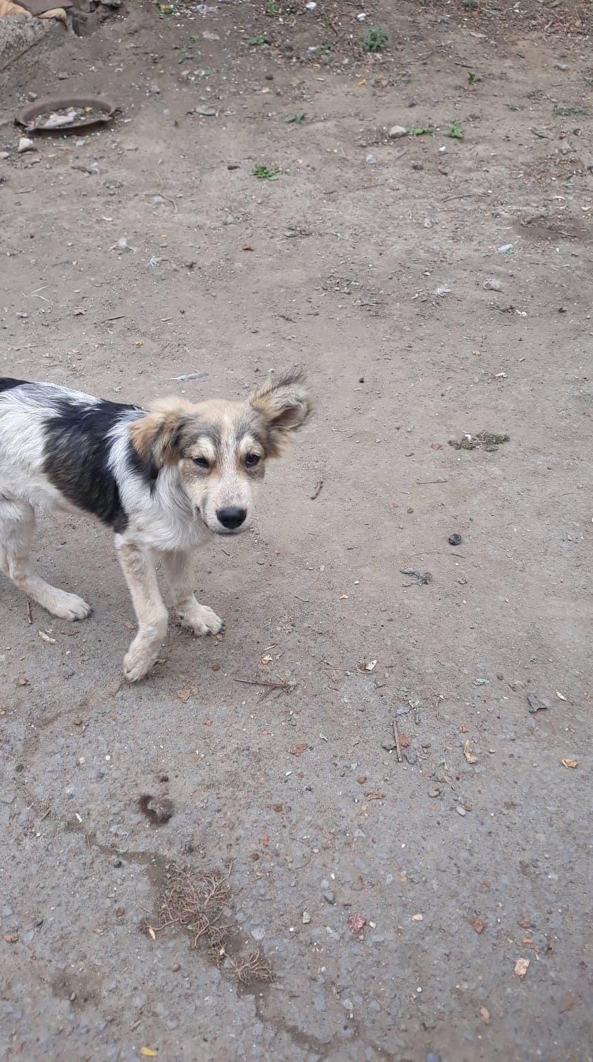 Hélios-mâle- fourrière de Târgu Frumos - adopté via Andreea 70399310