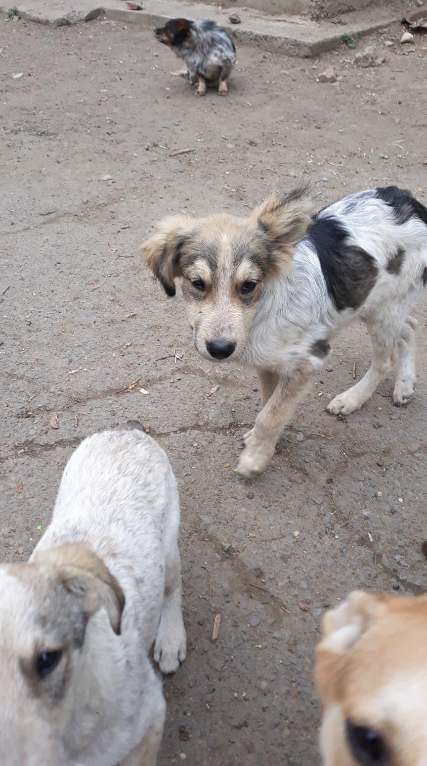 Hélios-mâle- fourrière de Târgu Frumos - adopté via Andreea 70411910