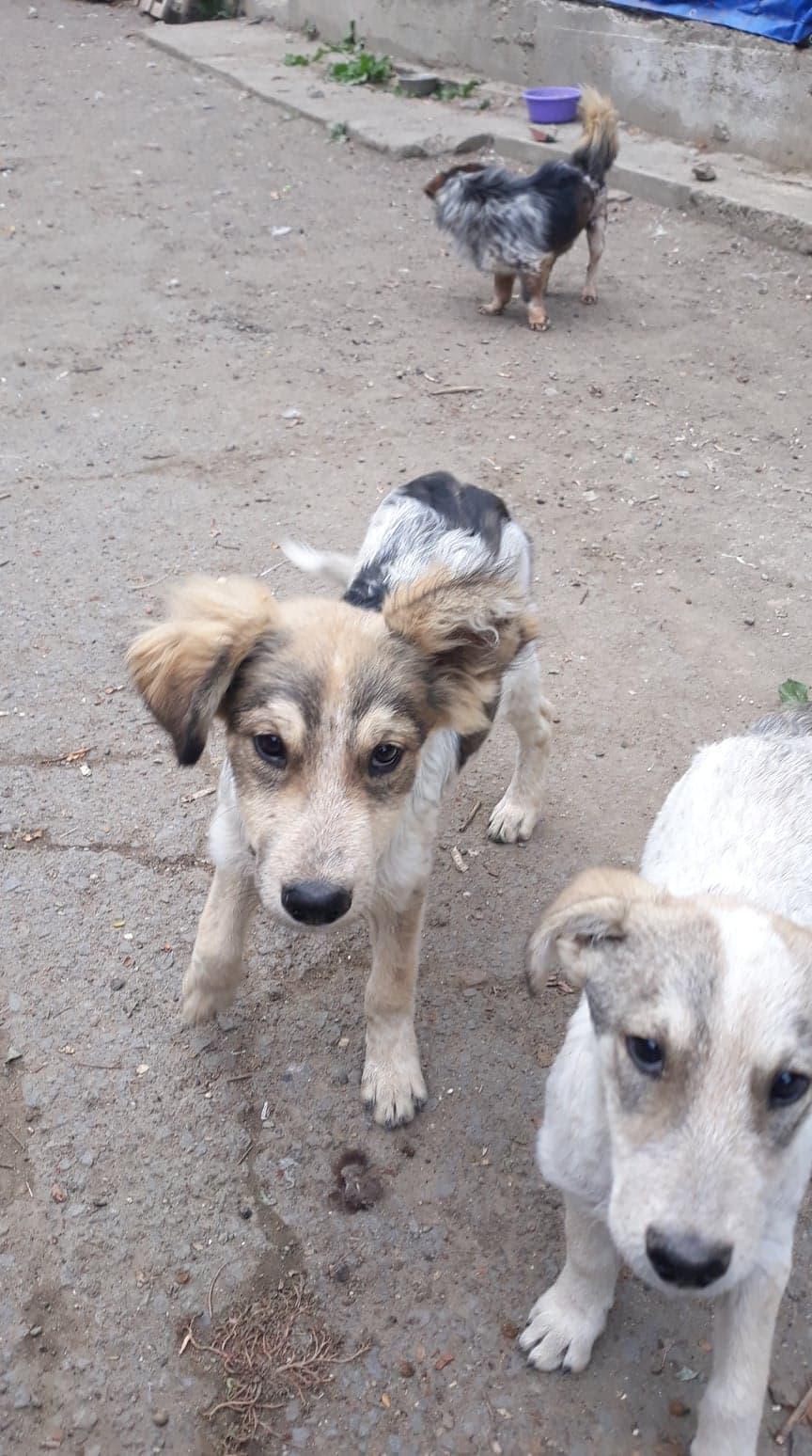 Hélios-mâle- fourrière de Târgu Frumos - adopté via Andreea 70458810