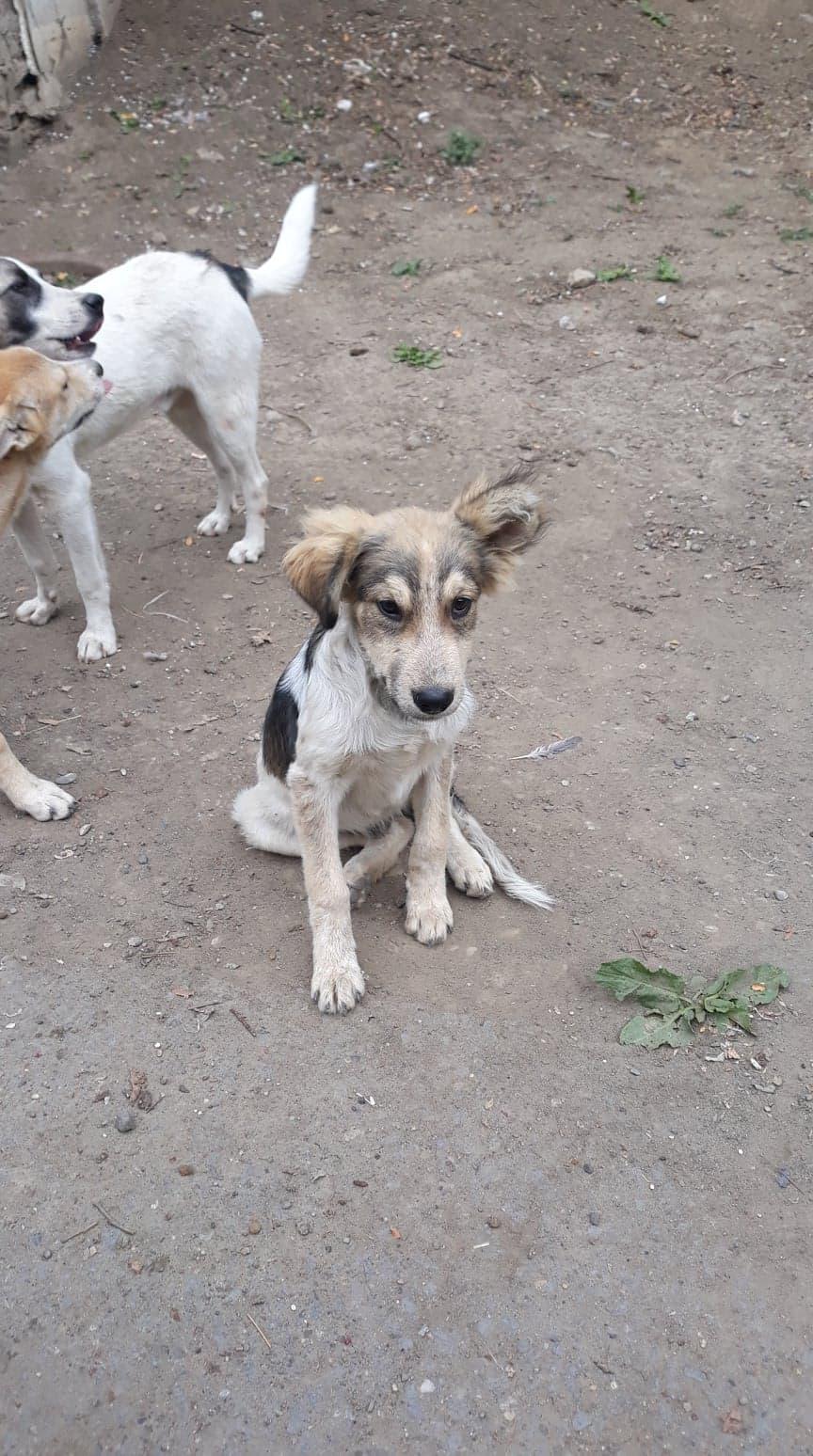 Hélios-mâle- fourrière de Târgu Frumos - adopté via Andreea 70578110