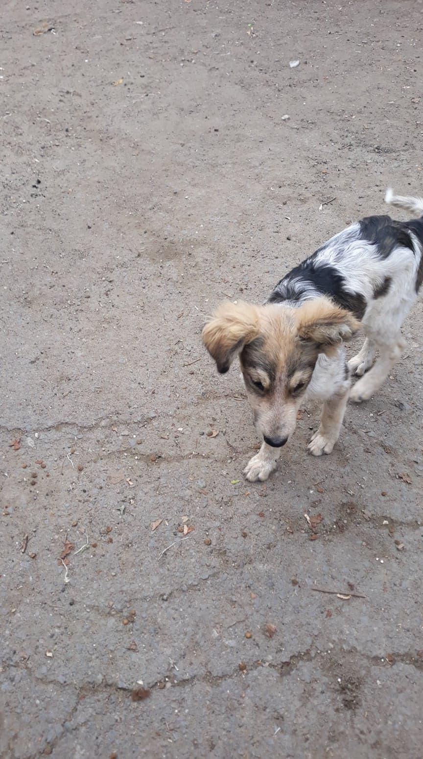 Hélios-mâle- fourrière de Târgu Frumos - adopté via Andreea 70885010