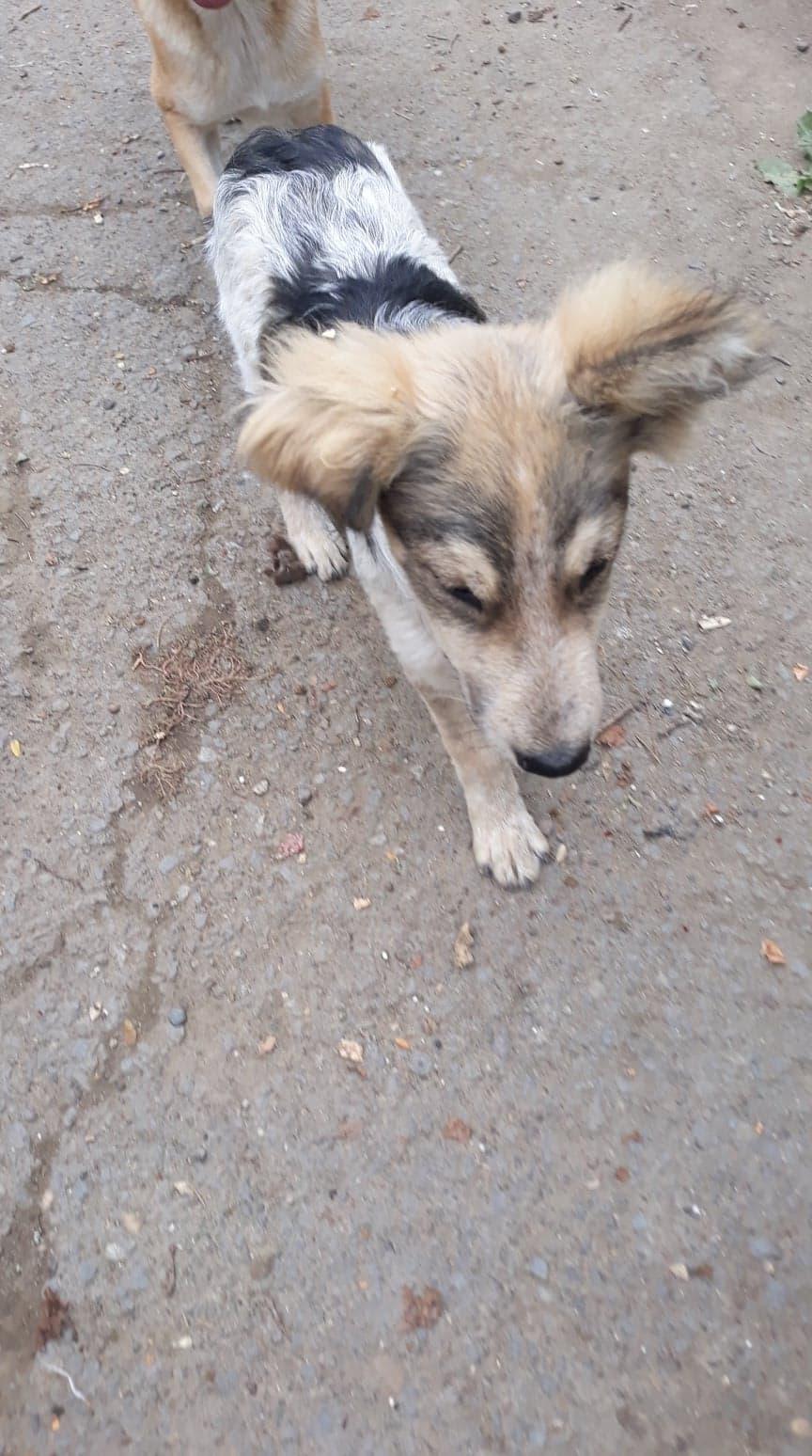 Hélios-mâle- fourrière de Târgu Frumos - adopté via Andreea 70931410